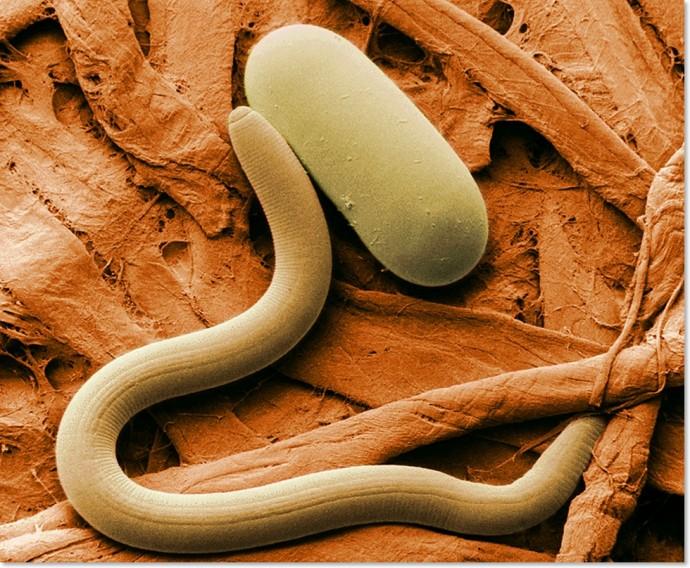 чистка гвоздикой от паразитов