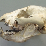 Череп пещерной гиены