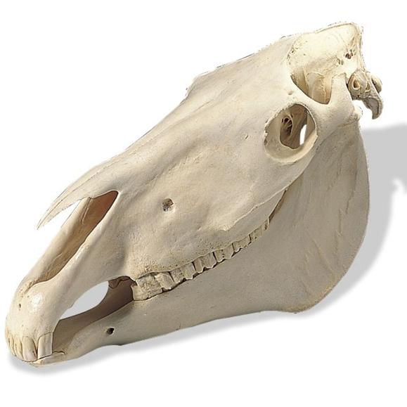 Череп лошади, лошадиный череп