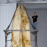 Череп синего кита
