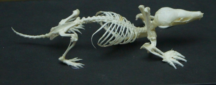 Череп, скелет крота