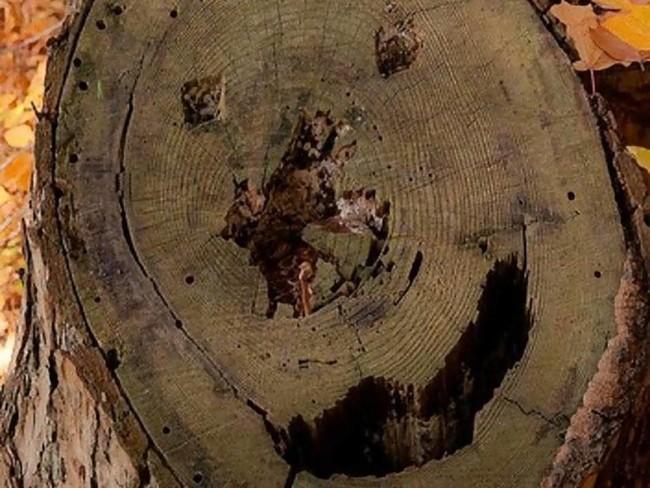 Это дерево веселиться, хотя оно уже не дерево, а пень