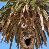 Это дерево живет в теплой стране, поэтому имеет пышную шевелюру от палящего солнца