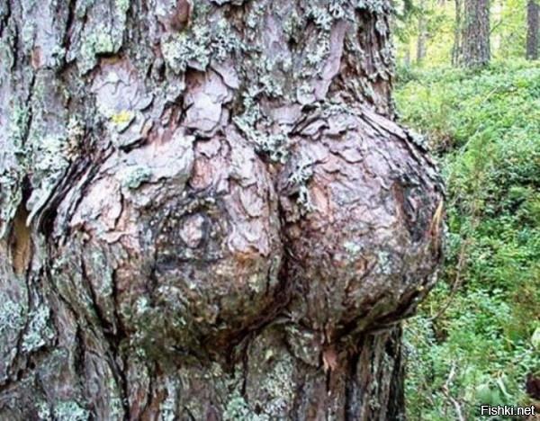 Дерево с грудью
