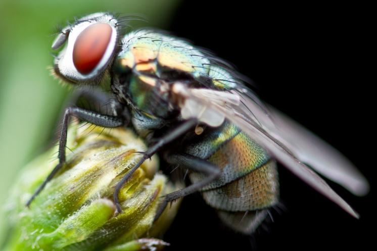 Макросъемка мух