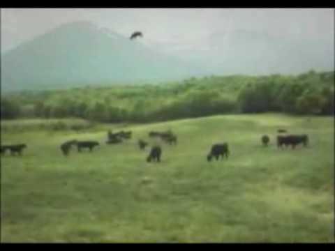 НЛО похищает корову видео