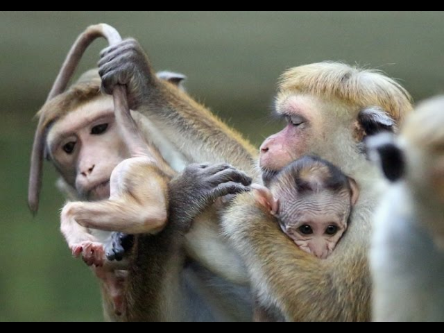 Тайный мир животных. Загадки народа обезьян