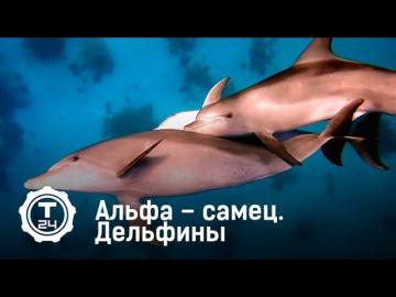 Дельфины. Альфа – самец