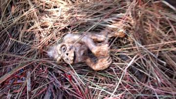Зародыш бигфута найден в лесу Аризоны